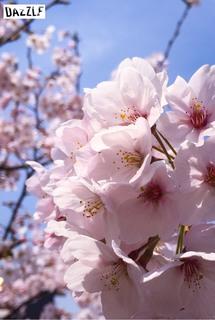 かずブログ11桜.jpg